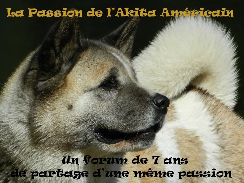 La passion de l'Akita Américain