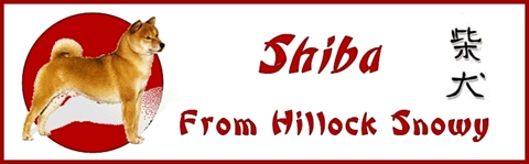 Shiba From Hillock Snowy Blog photos