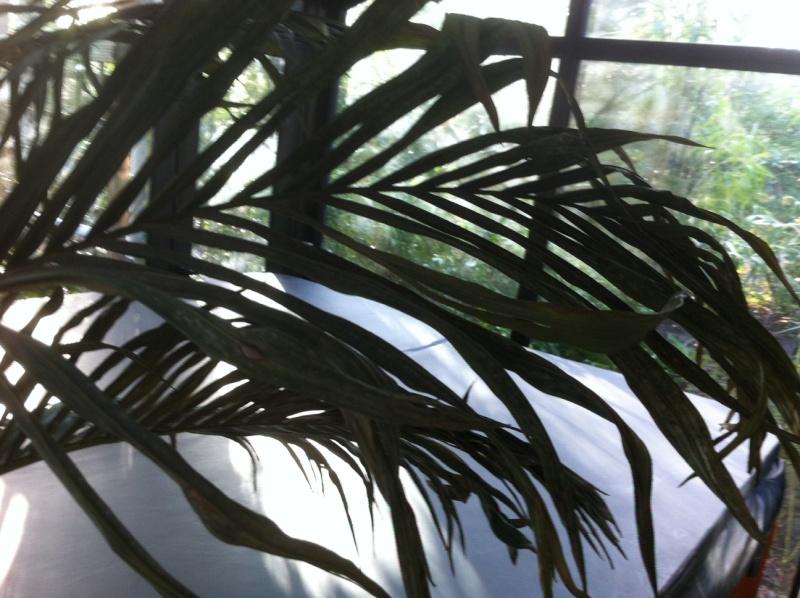 palmier avec les feuilles qui s chent. Black Bedroom Furniture Sets. Home Design Ideas