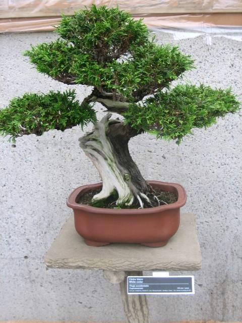 Crassula en bonsai for Bonsai artificiel grande taille