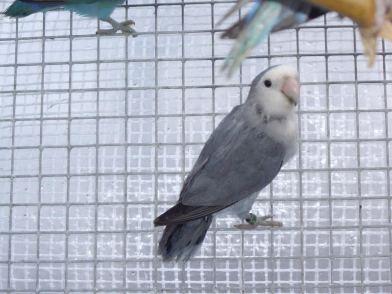 voir oiseaux inséparables