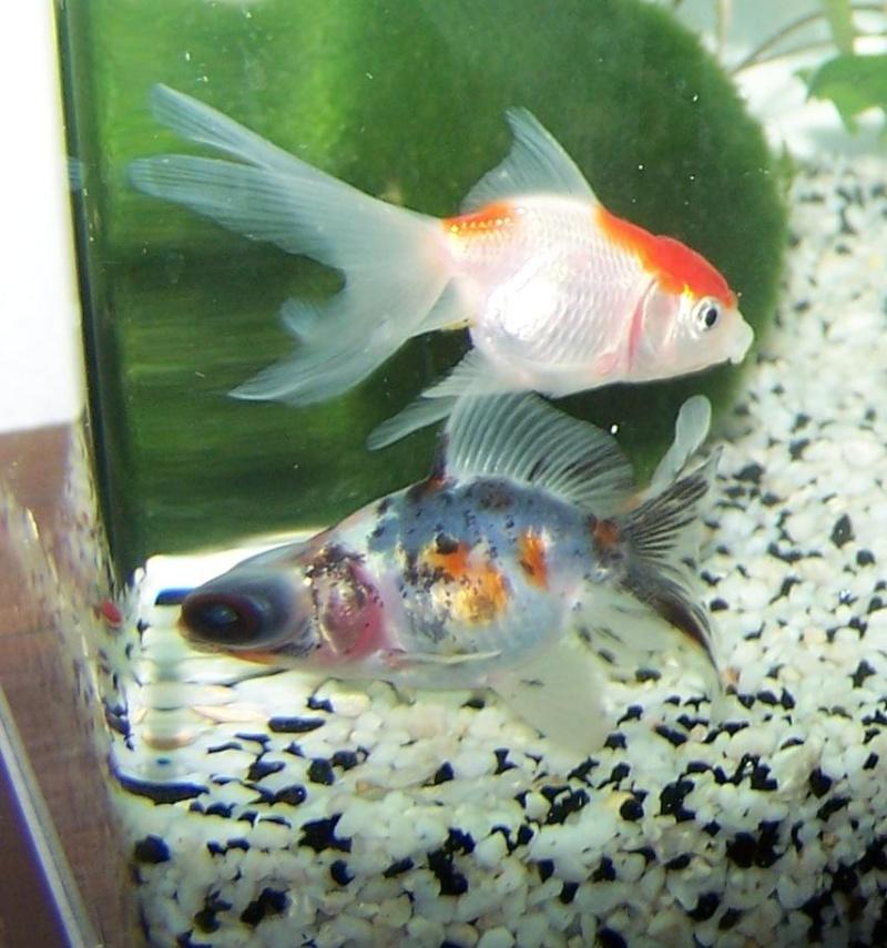 Donne 2 poissons rouge oranda voile de chine for Nourriture poisson rouge voile de chine