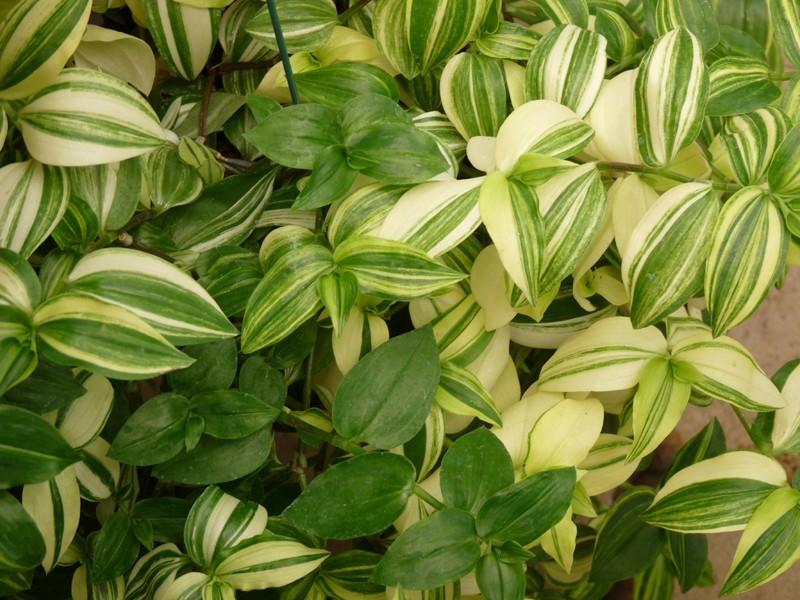 Photo de plante ph m re de rio mis re tradescantia for Plante 42 chris