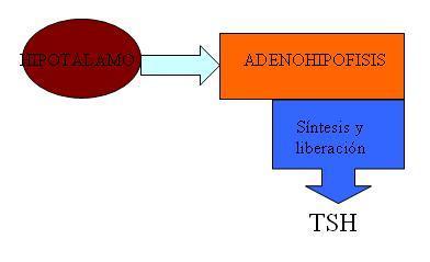 hormona liberadoras tiroides: