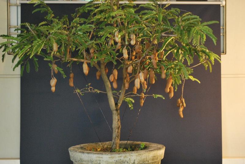 Дерево финики в домашних условиях
