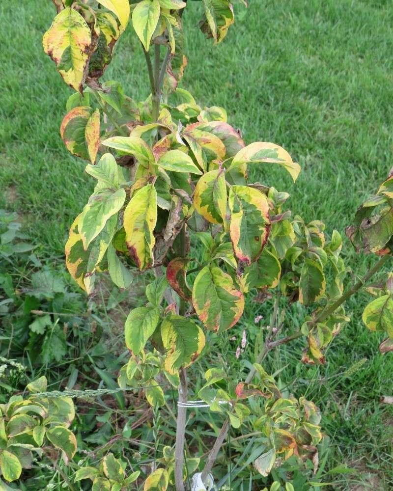 Mais qu 39 est ce qu 39 il a mon cornus florida sunset au jardin forum de jardinage - Feuilles de rosier qui jaunissent ...