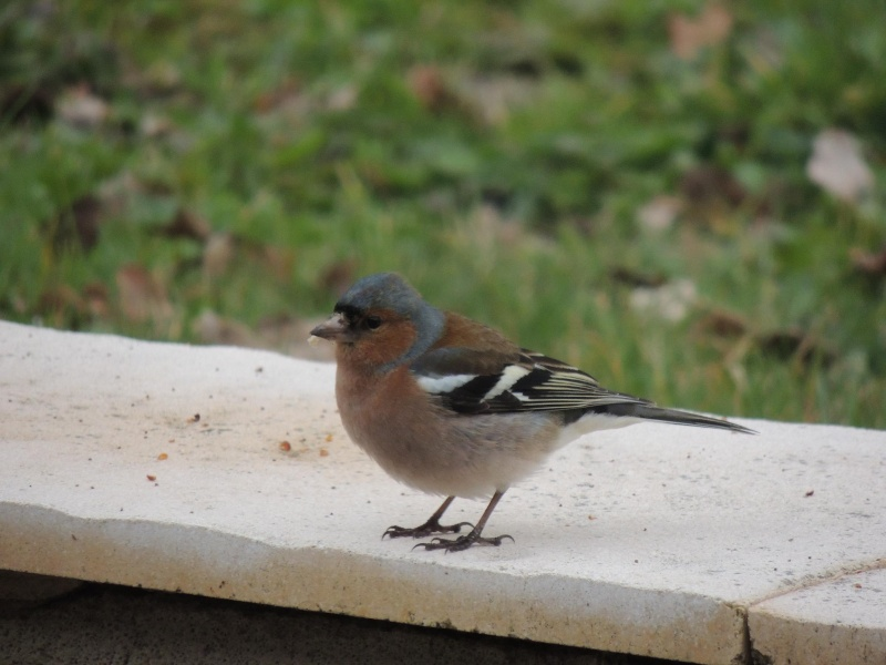 Petit oiseaux de nos jardins for Oiseaux de nos jardins